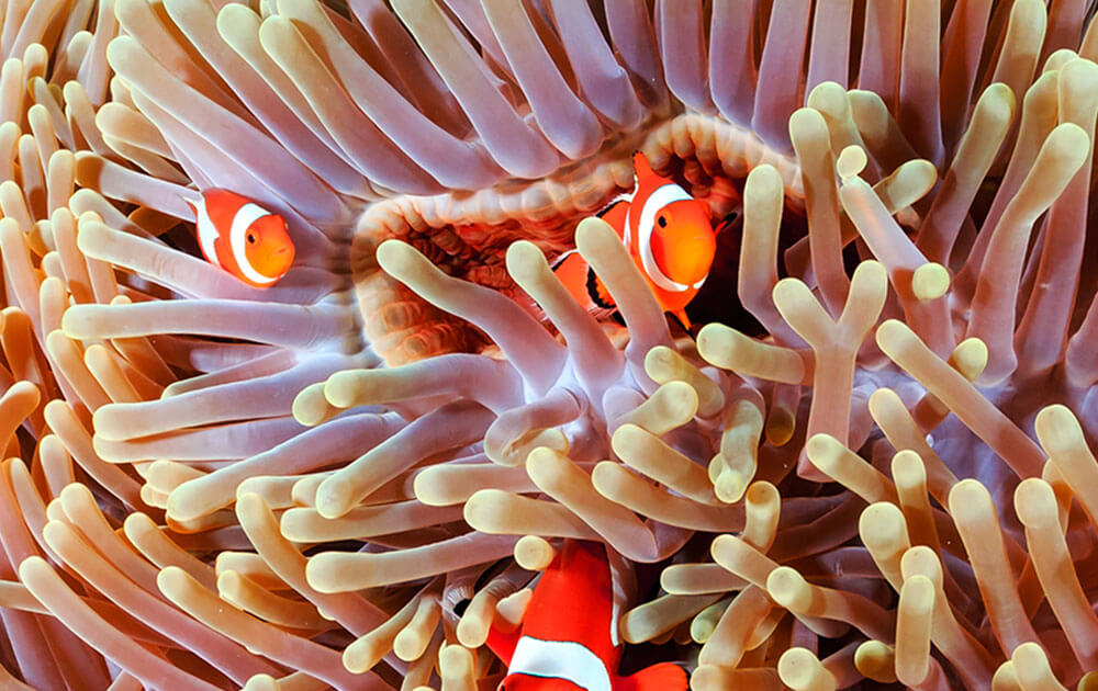 Dance with clown fishes